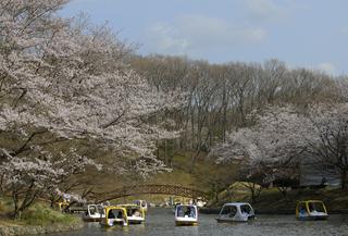 Sakura8